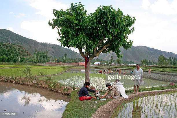 Kashmiri farmers take a tea break while women work in muddy rice paddy during the sowing season on May 25 2009 in Baramulla 65 km north of Srinagar...