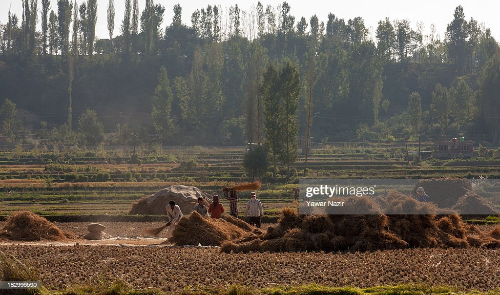 Kashmiri farmers thrash rice in a paddy after harvesting October 03, 2013 in Sriinagar, the summer capital of Indian administered Kashmir, India. Paddy production has gone down in Kashmir during the recent years largely due to unplanned and rapid urbanisation, with the area under rice crop cultivation coming down from 122 hectares in 2010-11 to 112 hectares in 2013, according to an economic survey to the state government.