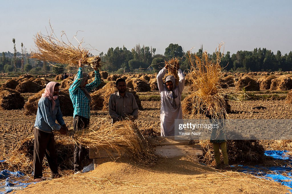 Kashmiri farmers thrash rice in a paddy after harvesting on the outskirt on October 03, 2013 in Sriinagar, the summer capital of Indian administered Kashmir, India. Paddy production has gone down in Kashmir during the recent years largely due to unplanned and rapid urbanisation, with the area under rice crop cultivation coming down from 122 hectares in 2010-11 to 112 hectares in 2013, according to an economic survey to the state government.