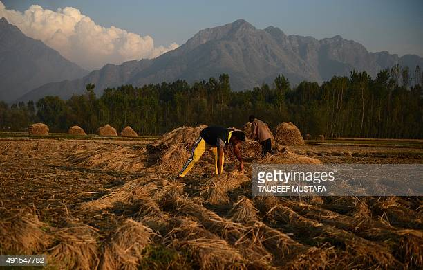 Kashmiri farmers work in a paddy field on the outskirts of Srinagar on October 62015Agriculture and horticulture are the main sources of income for...