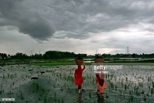 Kashmiri female farmers walk in a rice paddy as they carry baskets of dung manure on their heads during the sowing season on May 25 2009 in Baramulla...