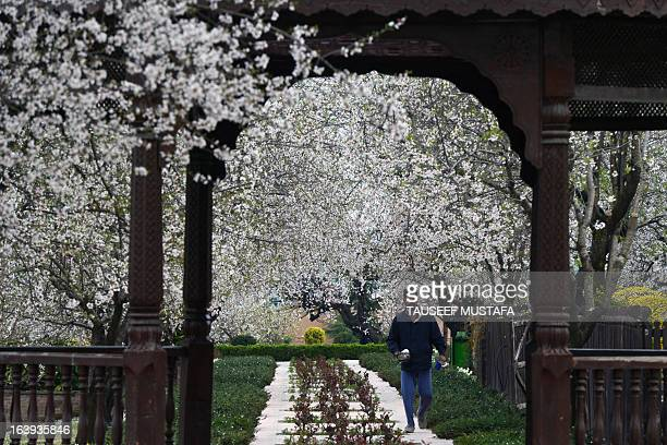 A Kashmiri man walks past blooming almond orchards as spring arrives at Badamwari in Srinagar on March 18 2013 Spring has arrived in...