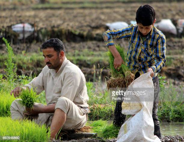 Kashmiri men farmers working in a paddy field on the outskirts of Anantnag district some 60 kilometers from summer capital of Indian controlled...