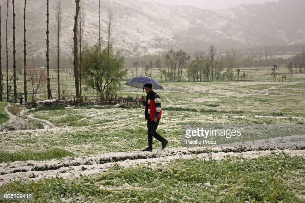 Kashmiri Muslim man walking through the damaged mustard field in Tral area of South Kashmirs Pulwama district in Indian Controlled Kashmir on...