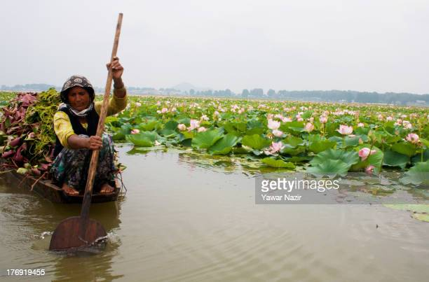 Kashmiri Muslim woman rows a boat carrying lotus leaves through blooming lotus flowers on Da lake August 19 2013 in Srinagar the summer capital of...
