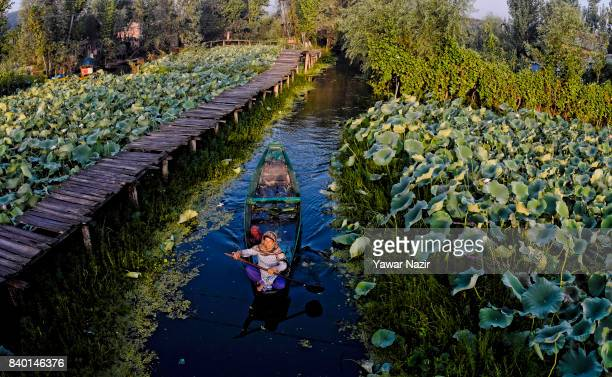 Kashmiri Muslim woman rows her boat near the floating vegetable market on Dal Lake at dawn on August 28 2017 in Srinagar the summer capital of Indian...