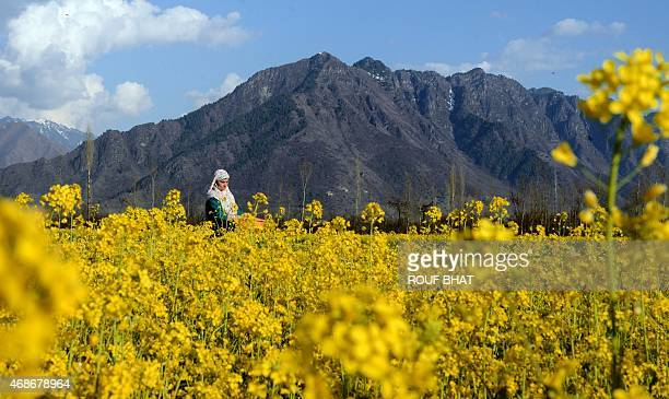 Kashmiri Muslims woman walk in a mustard field in full bloom on the outskirts of Srinagar on April 5 2015 According to the Directorate of Agriculture...