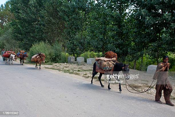 Kashmiri nomadic family walk with their herd of cattle on August 31 2013 in Islambaad 55 km south south Srinagar the summer capital of Indian...