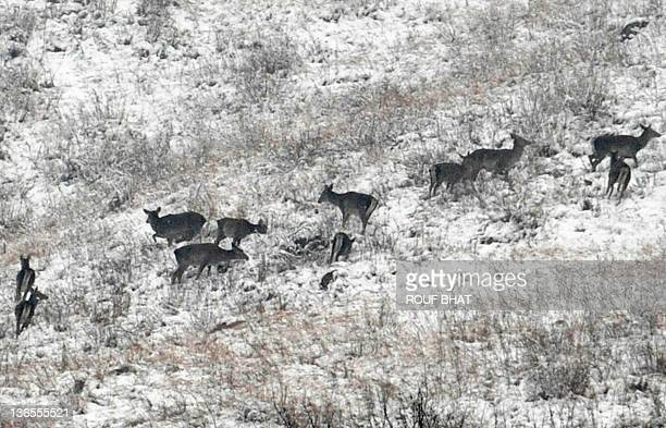 Kashmiri red deers 'Hangul' are seen in the snow covered mountain of Dachigam Wildlife sanctuary on the outskirts of Srinagar on January 8 2012 Heavy...