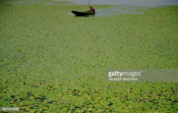 Kashmiri woman collects lotus roots to be used as animal feed on Dal Lake in Srinagar on September 17 2016 The killing of rebel leader Burhan Wani in...