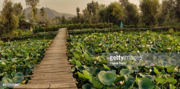 Kashmiri woman walks on the bridle path made over the floating lotus garden in Dal lake on August 22 2017 in Srinagar the summer capital of Indian...