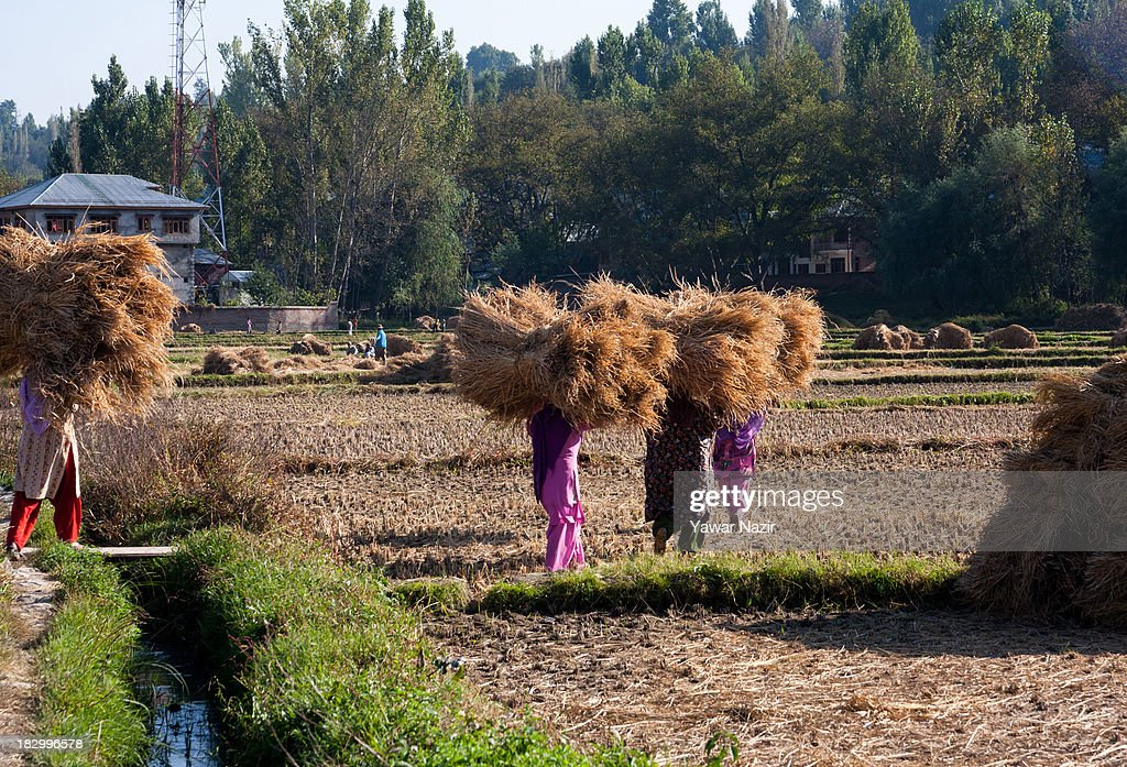 Kashmiri women farmers carry hay bales in a paddy fields after harvesting rice on the outskirt on October 03, 2013 in Sriinagar, the summer capital of Indian administered Kashmir, India. Paddy production has gone down in Kashmir during the recent years largely due to unplanned and rapid urbanisation, with the area under rice crop cultivation coming down from 122 hectares in 2010-11 to 112 hectares in 2013, according to an economic survey to the state government.