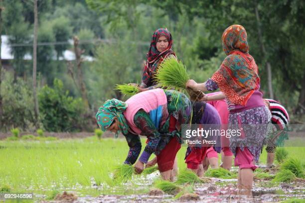 Kashmiri women farmers plant rice saplings in a paddy field on the outskirts of Anantnag district some 60 kilometers from summer capital of Indian...