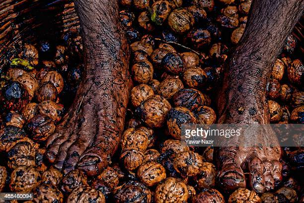 Kashmiri worker stomps walnuts after breaking their green husks to clean their shells on September 16 2015 in Pulwom 40 km south of Srinagar the...