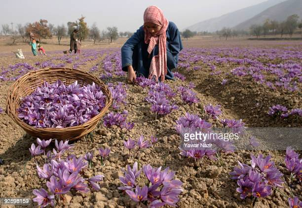 Kashmiri workers pluck saffron flowers on a farm on November 01 2009 in Pampur 20 km south of Srinagar in Indian administered Kashmir Kashmiri...