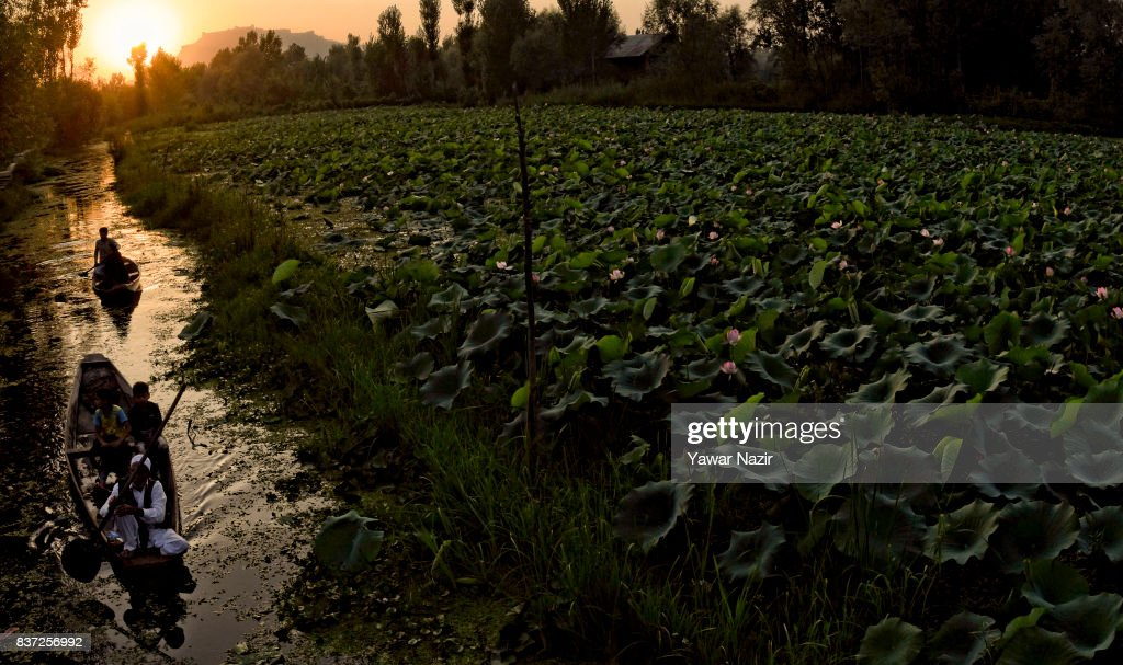 Kashmiris row their boats next to the floating lotus garden in Dal lake on August 22, 2017 in Srinagar, the summer capital of Indian administered Kashmir, India. Lotus flowers are in full bloom in ecologically rich Dal Lake. The flowers and leaves rise on their slender stalks three or four feet from the surface of the lake in the months of July and August. Its root, Nadru or Nelumbo nucifera, is a savoured delicacy of Kashmir people and fetches over $7,920,164 (50 Crore INR) annually for vegetable dealers.