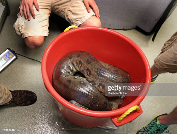 Kathleen an 82lb 14foot6inch anaconda is placed into a bucket to be weighed during an annual physical at the New England Aquarium in Boston July 27...