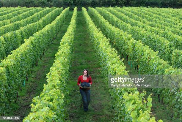 Kathryn Richards stands amongst the rows of vines at the Camel Valley Vineyard in Nanstallon near Bodmin Cornwall