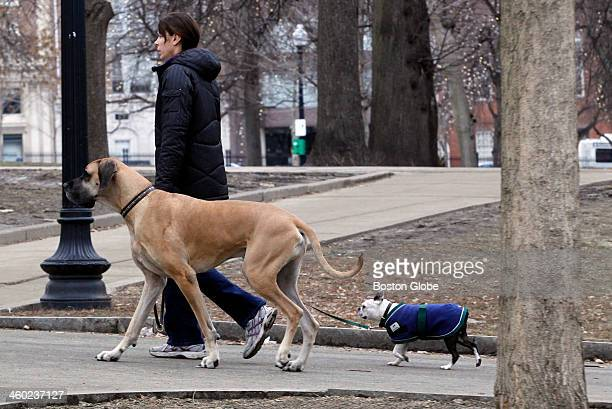 Katie Faraone walks her dogs Zeus left and Bolt right through the Boston Common on December 29 2013