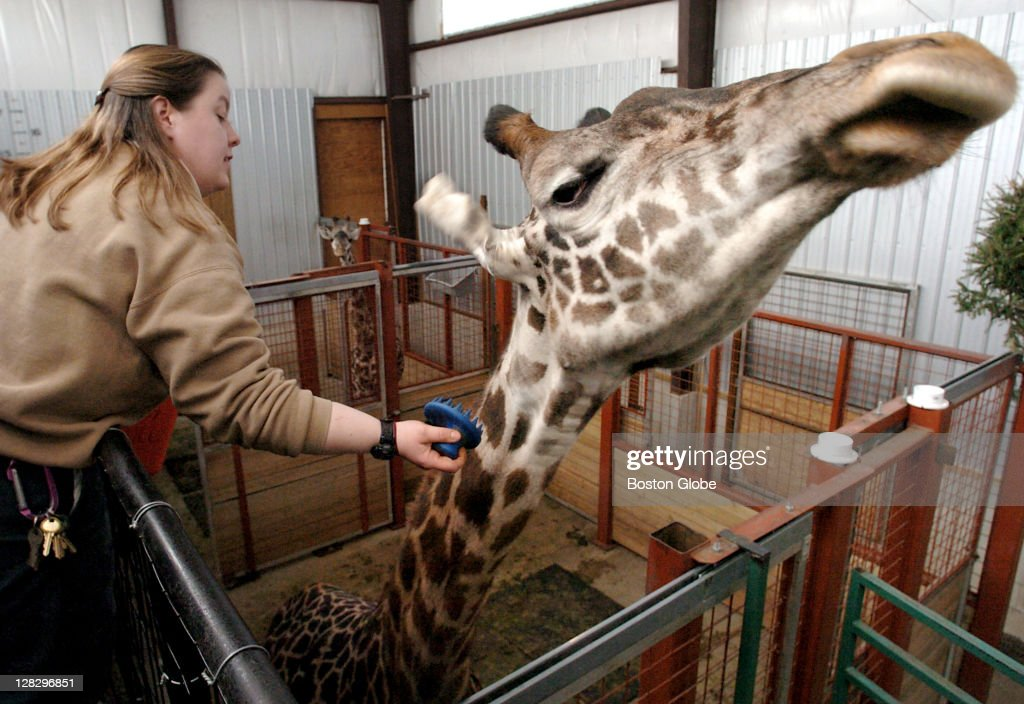 Katie Roberts the lead keeper brushes Beau a 6yearold Masi giraffe in the Franklin Park Zoo's giraffe holding area Three months ago the keepers could...