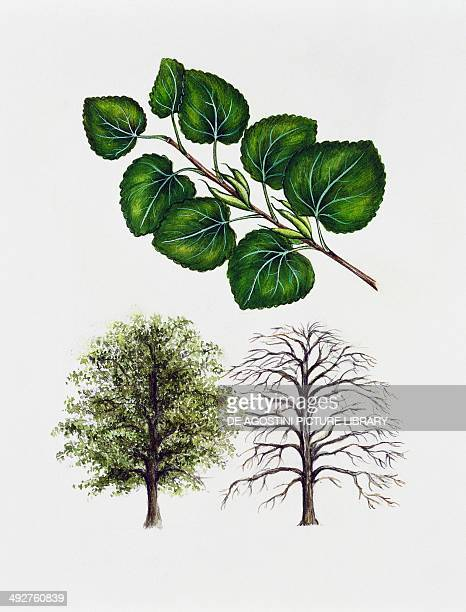 Katsura Cercidiphyllaceae tree with and without foliage leaves and fruits illustration