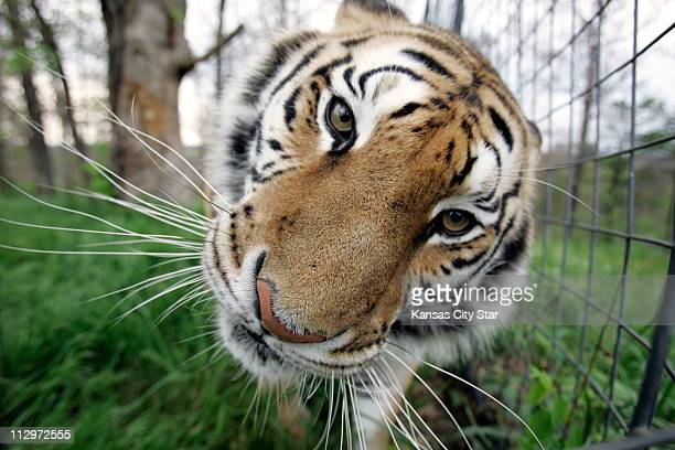 Katy a handsome Siberian tiger is one of the 111 rescued big cats whose permanent home is the Turpentine Creek Wildlife Refuge near Eureka Springs...