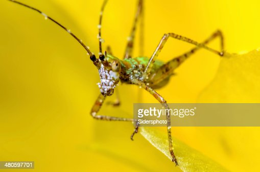 Katydid Nymph on a yellow cactus bloom : Stock Photo
