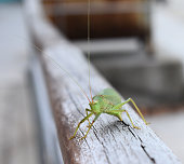 katydid sitting on a fence possibly laying eggs, autumn Asheville, North Carolina  USA