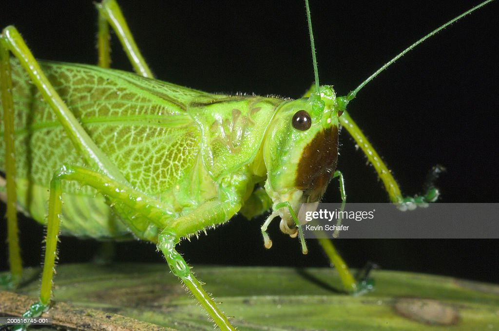 Katydid on plant, close-up, night : Stock Photo