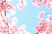 Kawazu-Sakura. It is a kind of cherry blossoms in Japan. early flowering Sakura