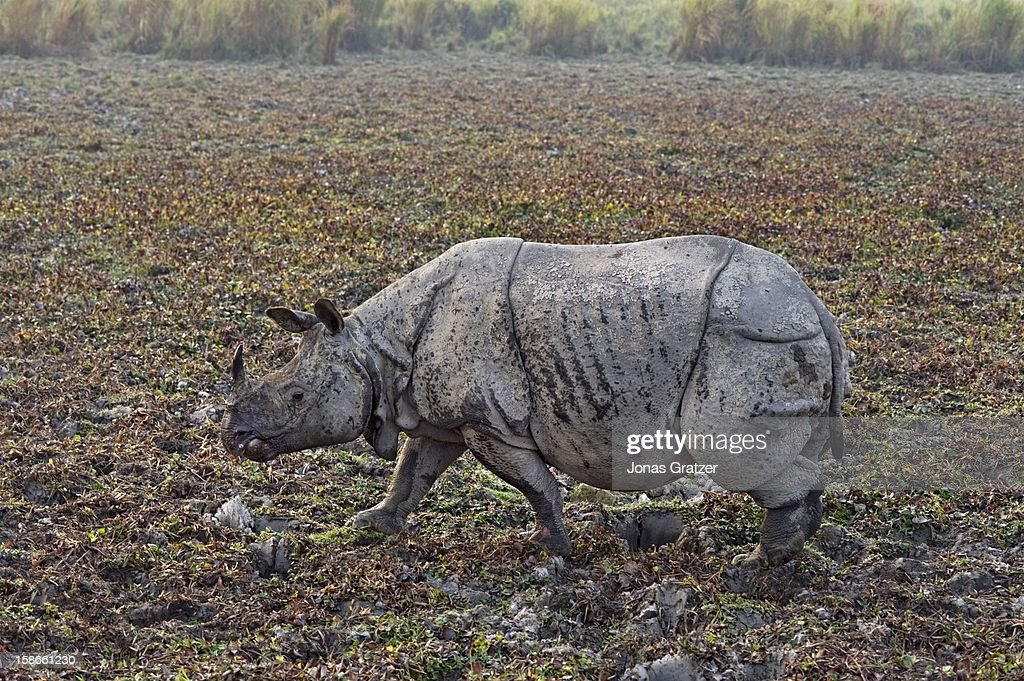 Kaziranga National Park is one of the last refuges for the single horned rhinoceros which have remained endangered since the early 1900s At that...