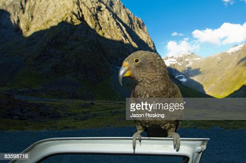 Kea or Mountain Parrot  perched on car door : Stock Photo