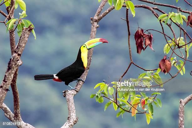 Keel-billed toucan, Ramphastos sulfuratus, Minca, Magdalena, Colombia