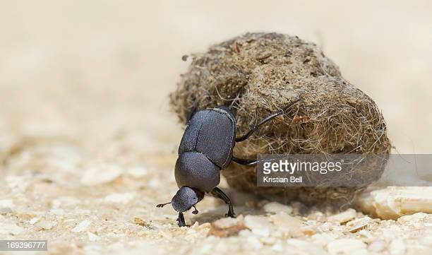 Keep on rolling, dung beetle