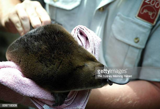 A keeper at Taronga Zoo holds a baby platypus known as a puggle after weighing it this morning It first appeared outside the burrow this morning and...