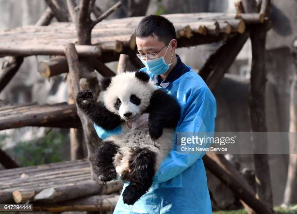 A keeper carries giant panda cub Qi Yi at Chengdu Research Base of Giant Panda Breeding on February 28 2017 in Chengdu Sichuan Province of China A...