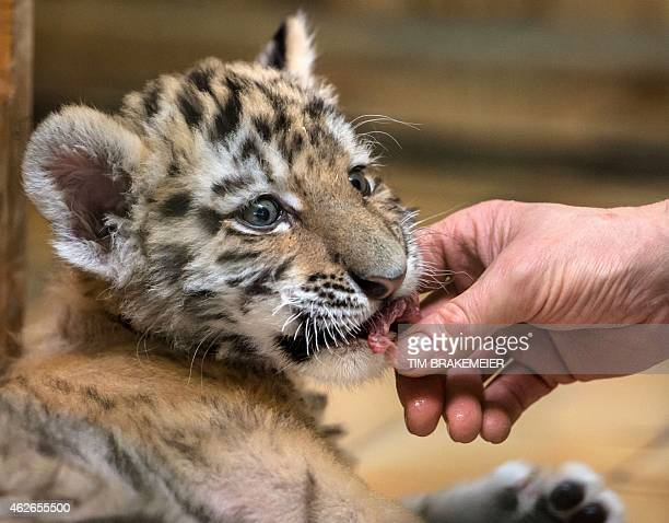 A keeper feeds baby tiger Alisha on February 2 2015 at the Tierpark zoo in Berlin Alisha and two siblings were born on December 10 2014 at the zoo...