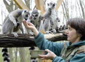A keeper feeds some Madagascan ringtail lemurs at the Nyiregyhaza zoo 22 April 2005 The ringtail lemur is the only member of the lemur family that...