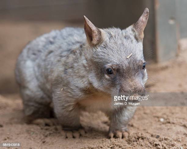 A keeper holds and shows off the new baby 'Hairy Nose Wombat' on September 17 2014 in Melbourne Australia
