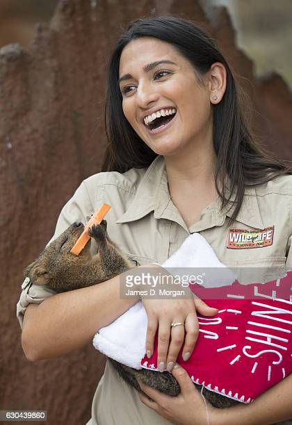 Keeper Melissa Retamales cradles Davey the Quokka as he enjoys a sweet potato star in a Christmas stocking at Wild Life Sydney Zoo on December 23...