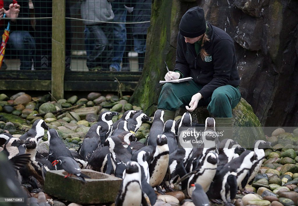 Keeper Pippa Green helps count some of the penguins as part of the annual stock take at Bristol Zoo on January 2 2013 in Bristol England The annual...