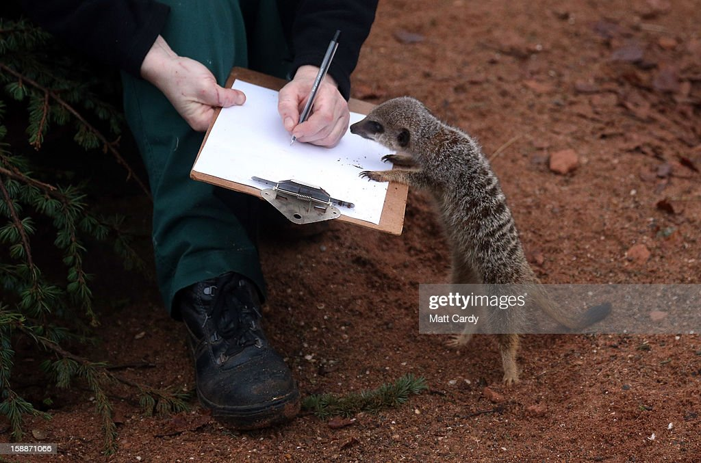 Keeper Sarah Hall helps count some of the meerkats as part of the annual stock take at Bristol Zoo on January 2 2013 in Bristol England The annual...