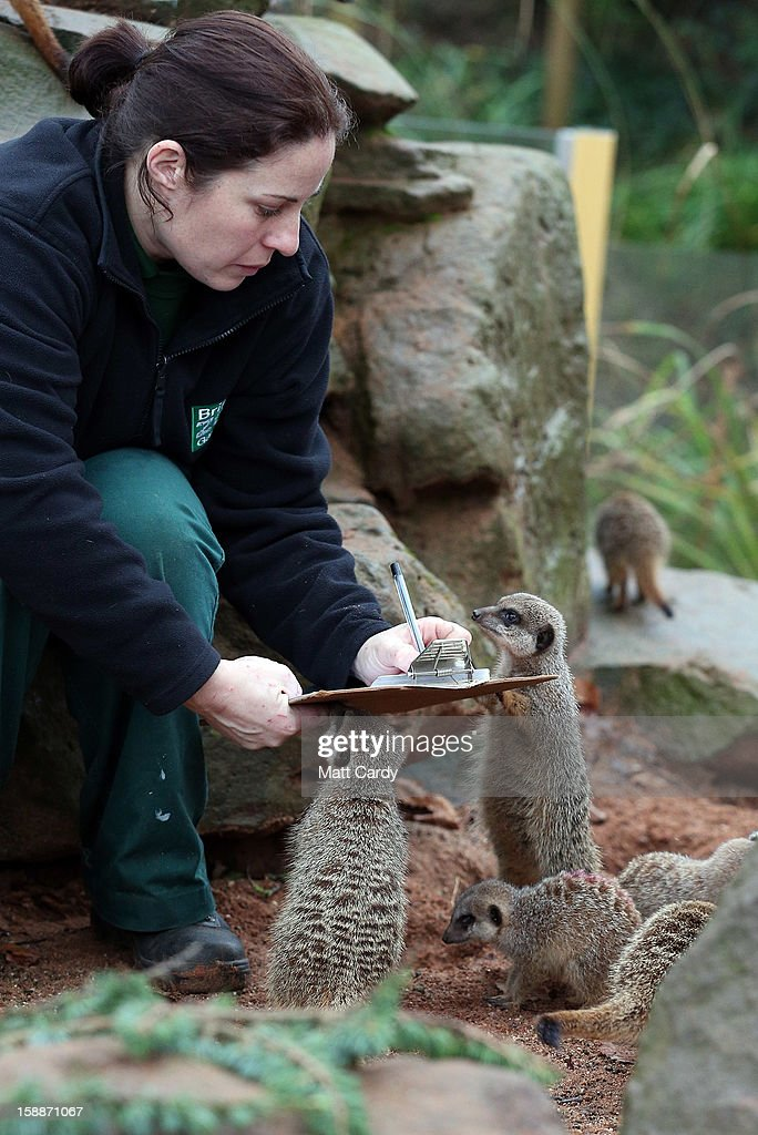 Keeper Sarah Hall helps count some of the meerkats as part of the annual stock take at Bristol Zoo on January 2, 2013 in Bristol, England. The annual animal 'census' is carried out at the start of each year and includes stocktaking more than 400 species; from tiny insects, fish and birds, to seals, gorillas and monkeys.