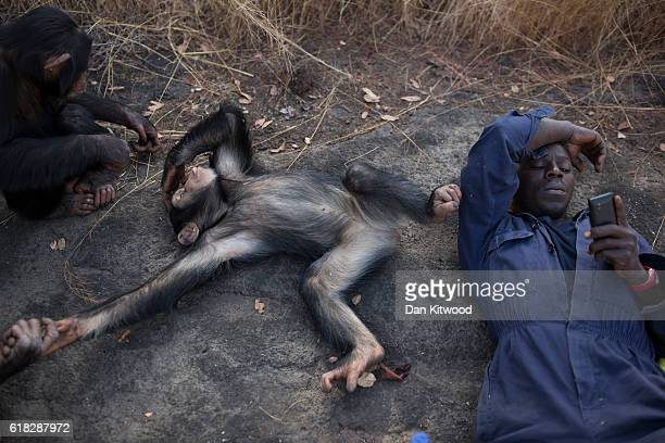 Keeper Sekou Kourouma listens to music on his phone as some of the nursery group play during a bushwalk in the Savanah at the Chimpanzee Conservation...