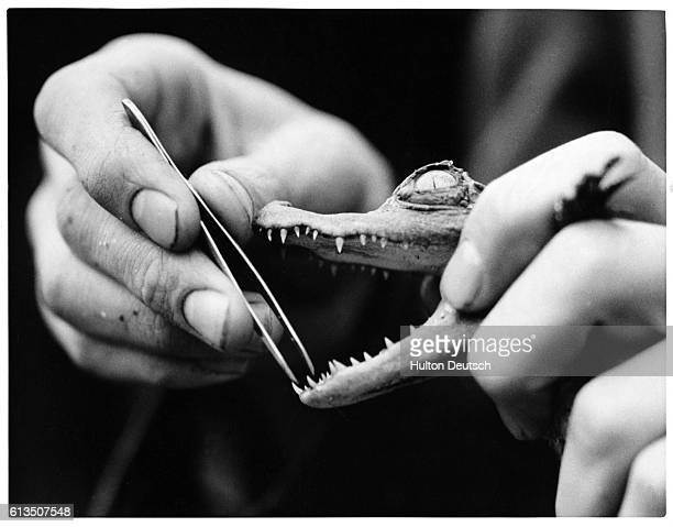 A keeper uses tweezers to examine the teeth of a baby crocodile in captivity at London Zoo 1938
