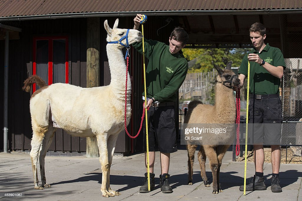 Keepers Jack Sargent and Adam Davies measure Perry a 6ft llama and Mocha a 4 monthold llama at 140cm during the annual weightin ZSL London Zoo on...