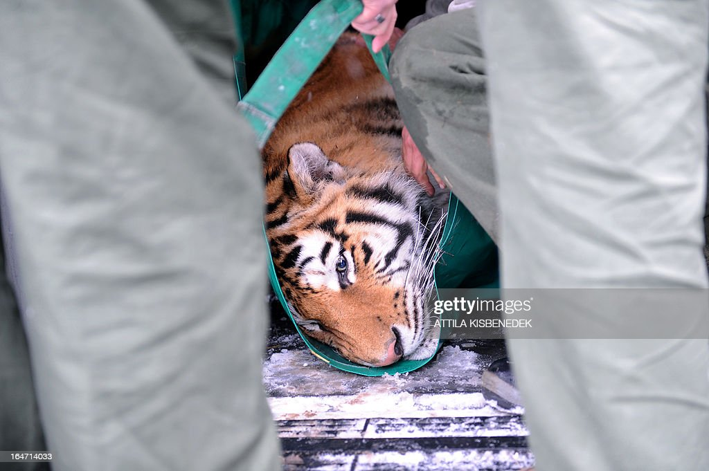 Keepers of the Budapest zoo carry Siberian tiger 'Thrax' on March 27, 2013 at the Budapest Zoo and Botanic Garden as preparations are under way for the transport of three Siberian tigers to their new home, the ZOOM Erlebniswelt in Gelsenkirchen, western Germany. The tigers were born on May 10, 2011 here at the zoo of the Hungarian capital Budapest.