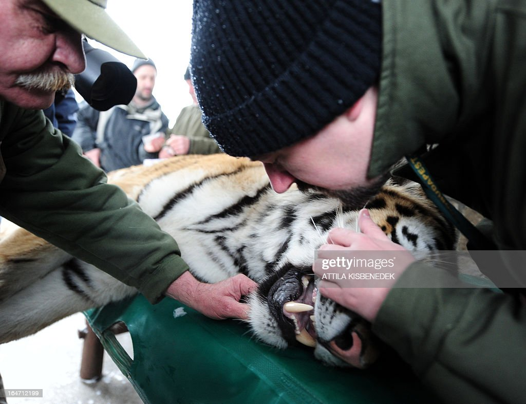 Keepers of the Budapest zoo examine the teeth of Siberian tiger 'Virgil' on March 27, 2013 at the Budapest Zoo and Botanic Garden as preparations are under way for the transport of three Siberian tigers to their new home, the ZOOM Erlebniswelt in Gelsenkirchen, western Germany. The tigers were born on May 10, 2011 here at the zoo of the Hungarian capital Budapest.
