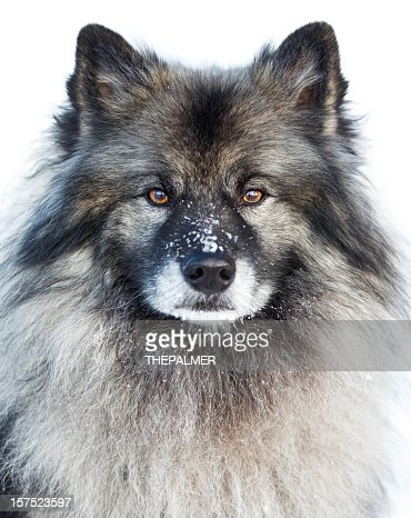 Keeshond breed dog : Stock Photo