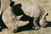 'Kei' a three month old Southern White Rhino calf feeds with his mother 'Umqali' in his new enclosure at Western Plains Zoo May 12 2006 in Dubbo...